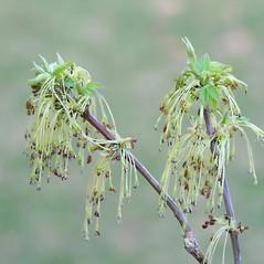 Flowers: Acer negundo. ~ By Arieh Tal. ~ Copyright © 2019 Arieh Tal. ~ www.nttlphoto.com ~ Arieh Tal - www.nttlphoto.com