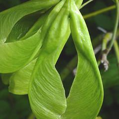 Fruits: Acer negundo. ~ By Glen Mittelhauser. ~ Copyright © 2019 Glen Mittelhauser. ~ www.mainenaturalhistory.org