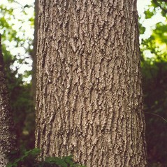 Bark: Acer nigrum. ~ By Arthur Haines. ~ Copyright © 2020. ~ arthurhaines[at]wildblue.net