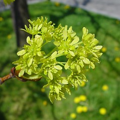 Flowers: Acer platanoides. ~ By Arthur Haines. ~ Copyright © 2021. ~ arthurhaines[at]wildblue.net
