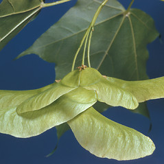 Fruits: Acer platanoides. ~ By Adelaide Pratt. ~ Copyright © 2021 New England Wild Flower Society. ~ Image Request, images[at]newenglandwild.org