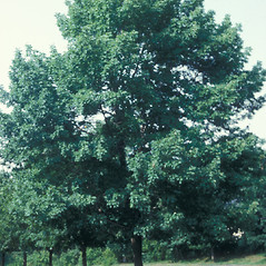 Plant form: Acer platanoides. ~ By Jean Baxter. ~ Copyright © 2021 New England Wild Flower Society. ~ Image Request, images[at]newenglandwild.org