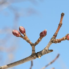 Winter buds: Acer platanoides. ~ By Arieh Tal. ~ Copyright © 2021 Arieh Tal. ~ http://botphoto.com/ ~ Arieh Tal - botphoto.com