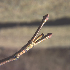 Winter buds: Acer platanoides. ~ By Carol Levine. ~ Copyright © 2021 Carol Levine. ~ carolflora[at]optonline.net
