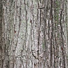 Bark: Acer rubrum. ~ By Glenn Dreyer. ~ Copyright © 2021 Glenn Dreyer. ~ None needed
