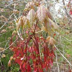Fruits: Acer rubrum. ~ By Glen Mittelhauser. ~ Copyright © 2021 Glen Mittelhauser. ~ www.mainenaturalhistory.org