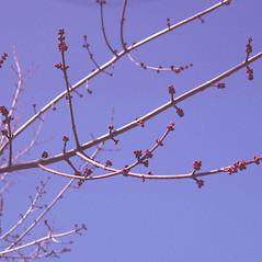 Winter buds: Acer rubrum. ~ By Carol Levine. ~ Copyright © 2021 Carol Levine. ~ carolflora[at]optonline.net