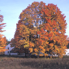 Plant form: Acer saccharum. ~ By Frank Bramley. ~ Copyright © 2021 New England Wild Flower Society. ~ Image Request, images[at]newenglandwild.org