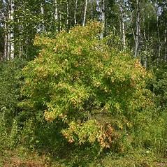 Plant form: Acer tataricum. ~ By Steve Garske. ~ Copyright © 2019 Steve Garske. ~ asimina[at]alphacomm.net