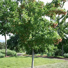 Plant form: Acer tataricum. ~ By Vanessa Richins. ~ Copyright © 2020 CC BY-NC 3.0. ~  ~ Bugwood - www.bugwood.org/