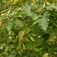 Leaves: Acer tataricum. ~ By Steve Garske. ~ Copyright © 2020 Steve Garske. ~ asimina[at]alphacomm.net