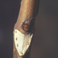 Winter buds: Aesculus hippocastanum. ~ By Carol Levine. ~ Copyright © 2020 Carol Levine. ~ carolflora[at]optonline.net