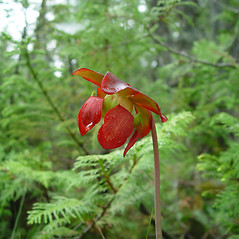 Flowers: Sarracenia purpurea. ~ By Arthur Haines. ~ Copyright © 2020. ~ arthurhaines[at]wildblue.net