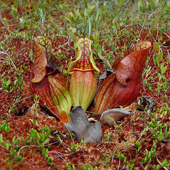 Leaves: Sarracenia purpurea. ~ By Arthur Haines. ~ Copyright © 2020. ~ arthurhaines[at]wildblue.net