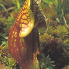 Leaves: Sarracenia purpurea. ~ By Dorothy Long. ~ Copyright © 2020 New England Wild Flower Society. ~ Image Request, images[at]newenglandwild.org