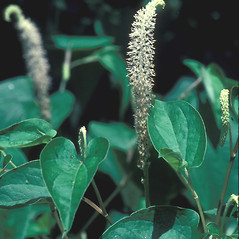 Flowers: Saururus cernuus. ~ By John Lynch. ~ Copyright © 2020 New England Wild Flower Society. ~ Image Request, images[at]newenglandwild.org