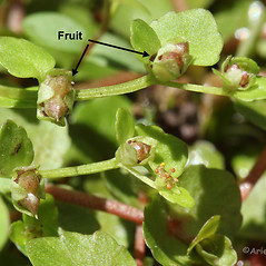 Fruits: Chrysosplenium americanum. ~ By Arieh Tal. ~ Copyright © 2020 Arieh Tal. ~ www.nttlphoto.com ~ Arieh Tal - www.nttlphoto.com