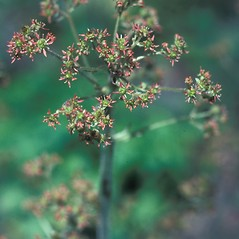 Flowers: Micranthes pensylvanica. ~ By John Lynch. ~ Copyright © 2021 New England Wild Flower Society. ~ Image Request, images[at]newenglandwild.org