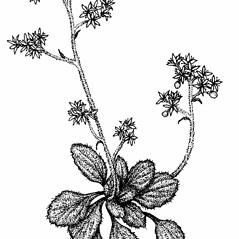 Plant form: Micranthes virginiensis. ~ By Elizabeth Farnsworth. ~ Copyright © 2021 New England Wild Flower Society. ~ Image Request, images[at]newenglandwild.org
