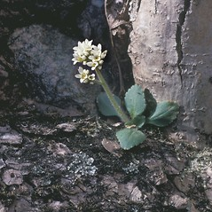Plant form: Micranthes virginiensis. ~ By Frank Bramley. ~ Copyright © 2021 New England Wild Flower Society. ~ Image Request, images[at]newenglandwild.org