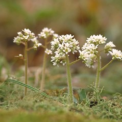 Stems: Micranthes virginiensis. ~ By Arieh Tal. ~ Copyright © 2020 Arieh Tal. ~ http://botphoto.com/ ~ Arieh Tal - botphoto.com