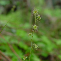 Flowers: Mitella nuda. ~ By Arthur Haines. ~ Copyright © 2020. ~ arthurhaines[at]wildblue.net