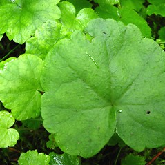Leaves: Mitella nuda. ~ By Donna Kausen. ~ Copyright © 2020 Donna Kausen. ~ 33 Bears Den, Addison, ME 04606