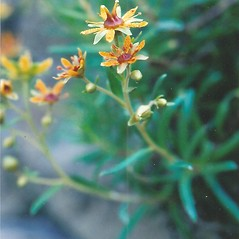 Flowers: Saxifraga aizoides. ~ By Bryan Hamlin. ~ Copyright © 2020 Bryan Hamlin. ~ bryanthamlin[at]gmail.com