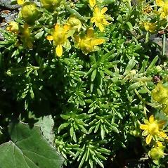 Leaves: Saxifraga aizoides. ~ By Robert Buchsbaum. ~ Copyright © 2021 Robert Buchsbaum. ~ rbuchsbaum[at]massaudubon.org