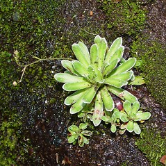 Leaves: Saxifraga paniculata. ~ By Arthur Haines. ~ Copyright © 2020. ~ arthurhaines[at]wildblue.net