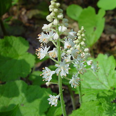 Flowers: Tiarella cordifolia. ~ By Arthur Haines. ~ Copyright © 2021. ~ arthurhaines[at]wildblue.net