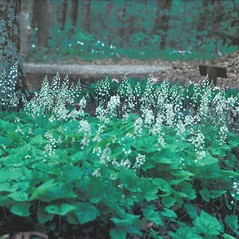 Plant form: Tiarella cordifolia. ~ By Dorothy Long. ~ Copyright © 2020 New England Wild Flower Society. ~ Image Request, images[at]newenglandwild.org
