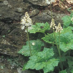 Plant form: Tiarella cordifolia. ~ By Walt & Louiseann Pietrowicz. ~ Copyright © 2021 New England Wild Flower Society. ~ Image Request, images[at]newenglandwild.org
