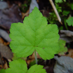 Leaves: Tiarella cordifolia. ~ By Arthur Haines. ~ Copyright © 2020. ~ arthurhaines[at]wildblue.net