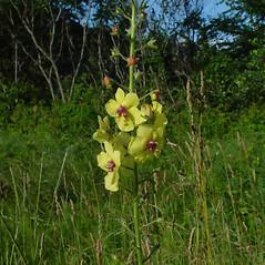 Flowers: Verbascum blattaria. ~ By Arthur Haines. ~ Copyright © 2020. ~ arthurhaines[at]wildblue.net