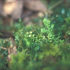Vegetative leaves: Selaginella apoda. ~ By Cheryl Lowe. ~ Copyright © 2019 New England Wild Flower Society. ~ Image Request, images[at]newenglandwild.org