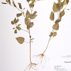 Plant form: Browallia americana. ~ By William and Linda Steere and the C.V. Starr Virtual Herbarium. ~ Copyright © 2021 William and Linda Steere and the C.V. Starr Virtual Herbarium. ~ Barbara Thiers, Director; bthiers[at]nybg.org ~ C.V. Starr Herbarium - NY Botanical Gardens