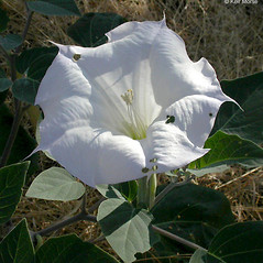 Flowers: Datura wrightii. ~ By Keir Morse. ~ Copyright © 2020 Keir Morse. ~ www.keiriosity.com ~ www.keiriosity.com
