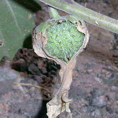 Fruits: Datura wrightii. ~ By Keir Morse. ~ Copyright © 2020 Keir Morse. ~ www.keiriosity.com ~ www.keiriosity.com