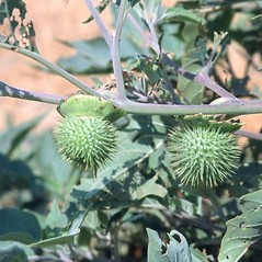 Fruits: Datura wrightii. ~ By Mark Renz. ~ Copyright © 2020 Mark Renz. ~ mrenz[at]wisc.edu ~ Robert W. Freckmann Herbarium, U. of Wisconsin-Stevens Point