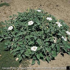 Plant form: Datura wrightii. ~ By Joseph DiTomaso. ~ Copyright © 2020 CC BY-NC 3.0. ~  ~ Bugwood - www.bugwood.org/