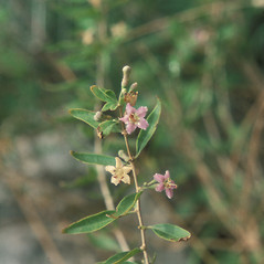 Plant form: Lycium barbarum. ~ By Jean Baxter. ~ Copyright © 2020 New England Wild Flower Society. ~ Image Request, images[at]newenglandwild.org