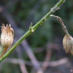 Fruits: Nicotiana quadrivalvis. ~ By Keir Morse. ~ Copyright © 2021 Keir Morse. ~ www.keiriosity.com ~ www.keiriosity.com