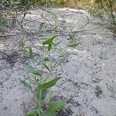 Plant form: Nicotiana quadrivalvis. ~ By Keir Morse. ~ Copyright © 2021 Keir Morse. ~ www.keiriosity.com ~ www.keiriosity.com