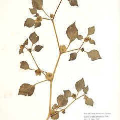 Plant form: Physalis philadelphica. ~ By William and Linda Steere and the C.V. Starr Virtual Herbarium. ~ Copyright © 2020 William and Linda Steere and the C.V. Starr Virtual Herbarium. ~ Barbara Thiers, Director; bthiers[at]nybg.org ~ C.V. Starr Herbarium - NY Botanical Gardens