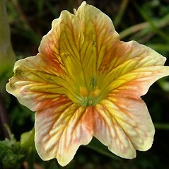 Flowers: Salpiglossis sinuata. ~ By David Fenwick. ~ Copyright © 2020 David Fenwick. ~ davidfenwicksnr[at]googlemail.com ~ www.aphotoflora.com