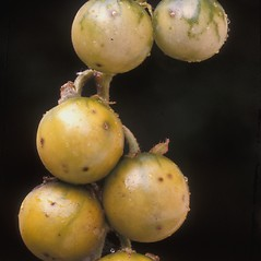 Fruits: Solanum carolinense. ~ By Albert Bussewitz. ~ Copyright © 2019 New England Wild Flower Society. ~ Image Request, images[at]newenglandwild.org
