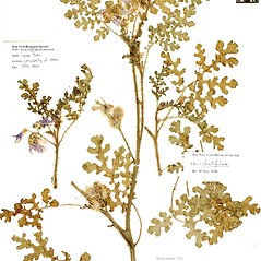 Plant form: Solanum citrullifolium. ~ By William and Linda Steere and the C.V. Starr Virtual Herbarium. ~ Copyright © 2020 William and Linda Steere and the C.V. Starr Virtual Herbarium. ~ Barbara Thiers, Director; bthiers[at]nybg.org ~ C.V. Starr Herbarium - NY Botanical Gardens