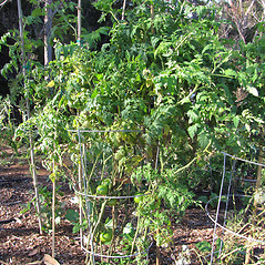 Plant form: Solanum lycopersicon. ~ By Kim Starr. ~ Copyright © 2021 CC BY 3.0. ~ starrimages[at]hear.org ~ Plants of Hawaii - www.hear.org/starr/images/?o=plants