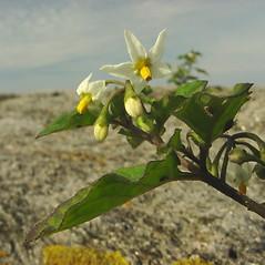 Flowers: Solanum nigrum. ~ By Glen Mittelhauser. ~ Copyright © 2021 Glen Mittelhauser. ~ www.mainenaturalhistory.org